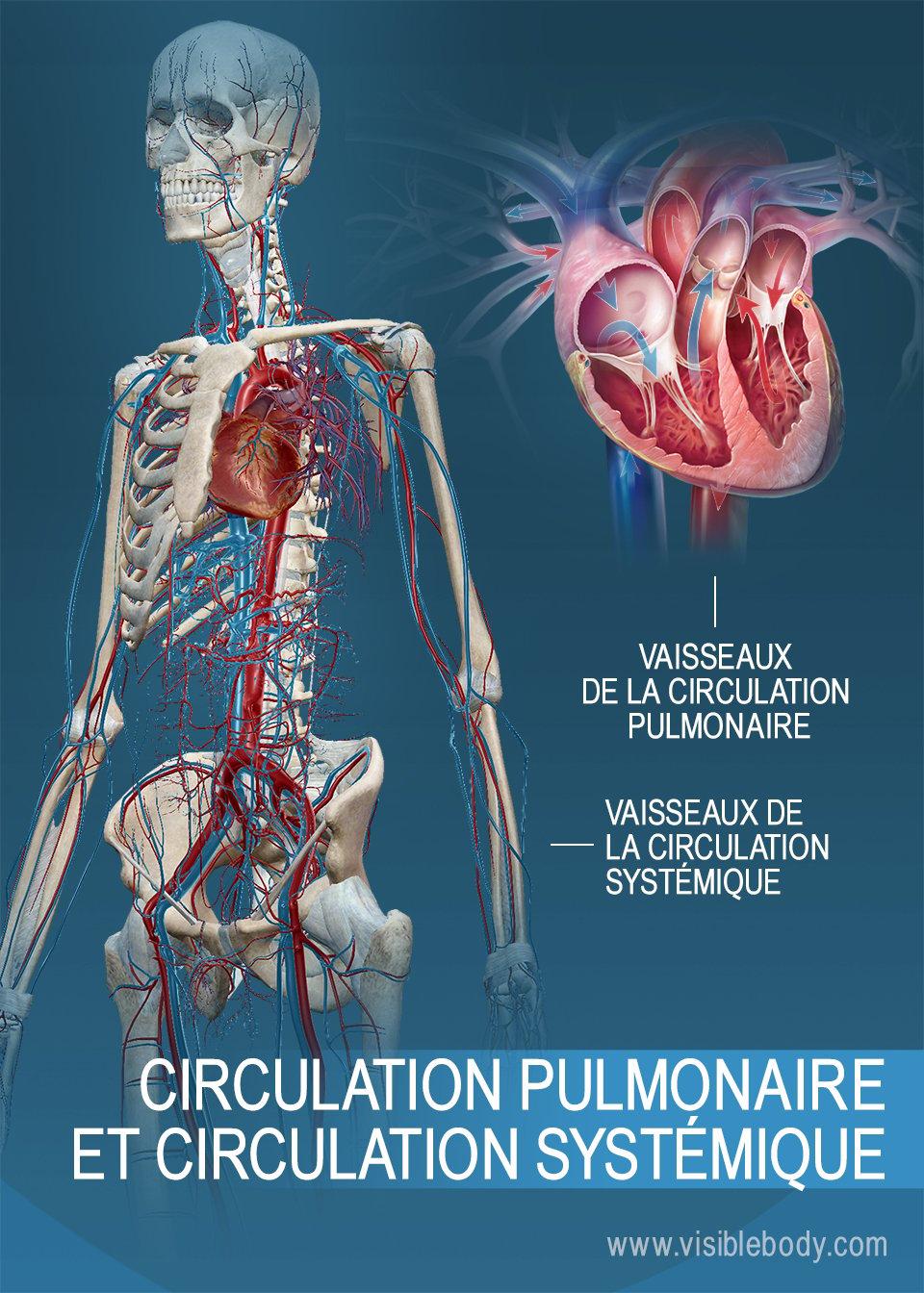 Vaisseaux des circulations systémique et pulmonaire