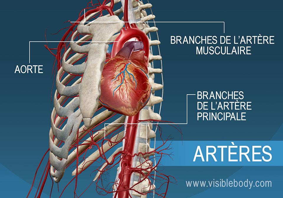 Les principales artères et branches du cœur