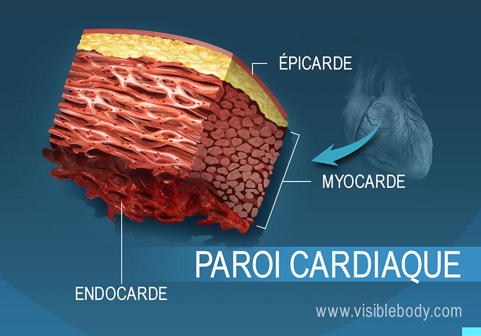 Coupe transversale de la paroi cardiaque