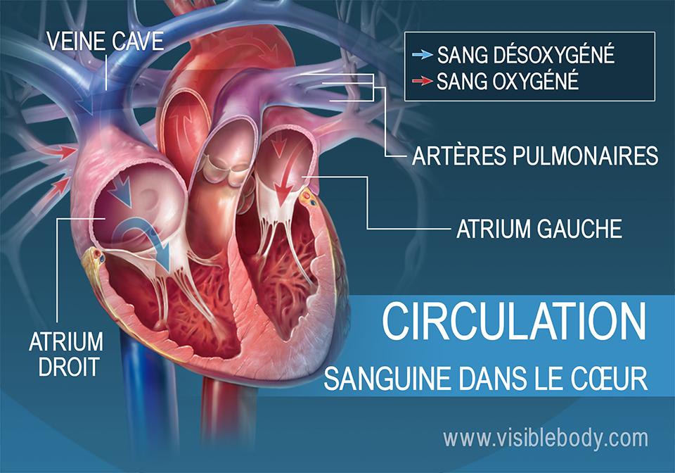 Les atriums pompent le sang dans le cœur