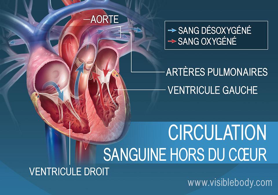 Les ventricules droit et gauche pompent le sang en dehors du cœur