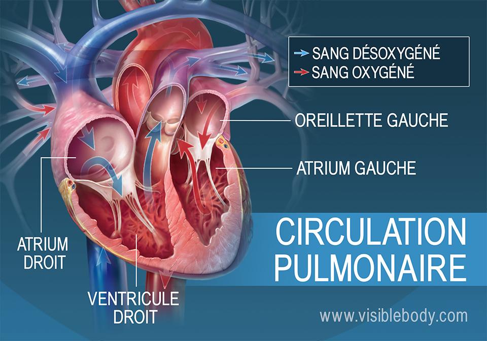 Circulation du sang oxygéné et désoxygéné dans les atriums du cœur