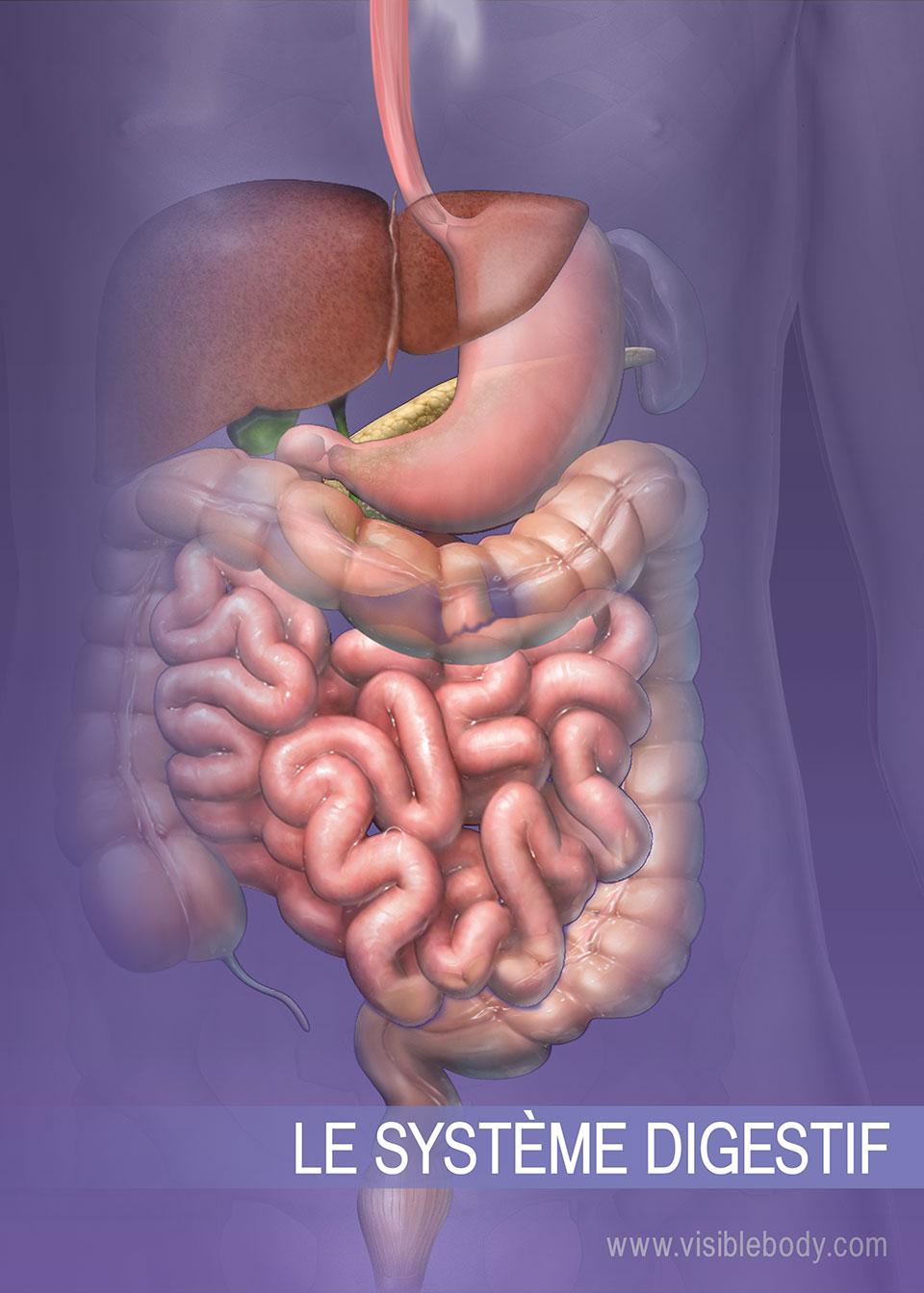 Structures du système digestif inférieur