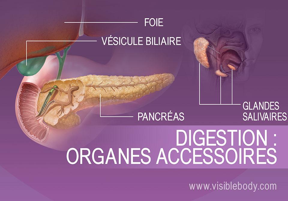 Les organes accessoires de la digestion comprennent le foie, la vésicule biliaire, le pancréas et les glandes salivaires