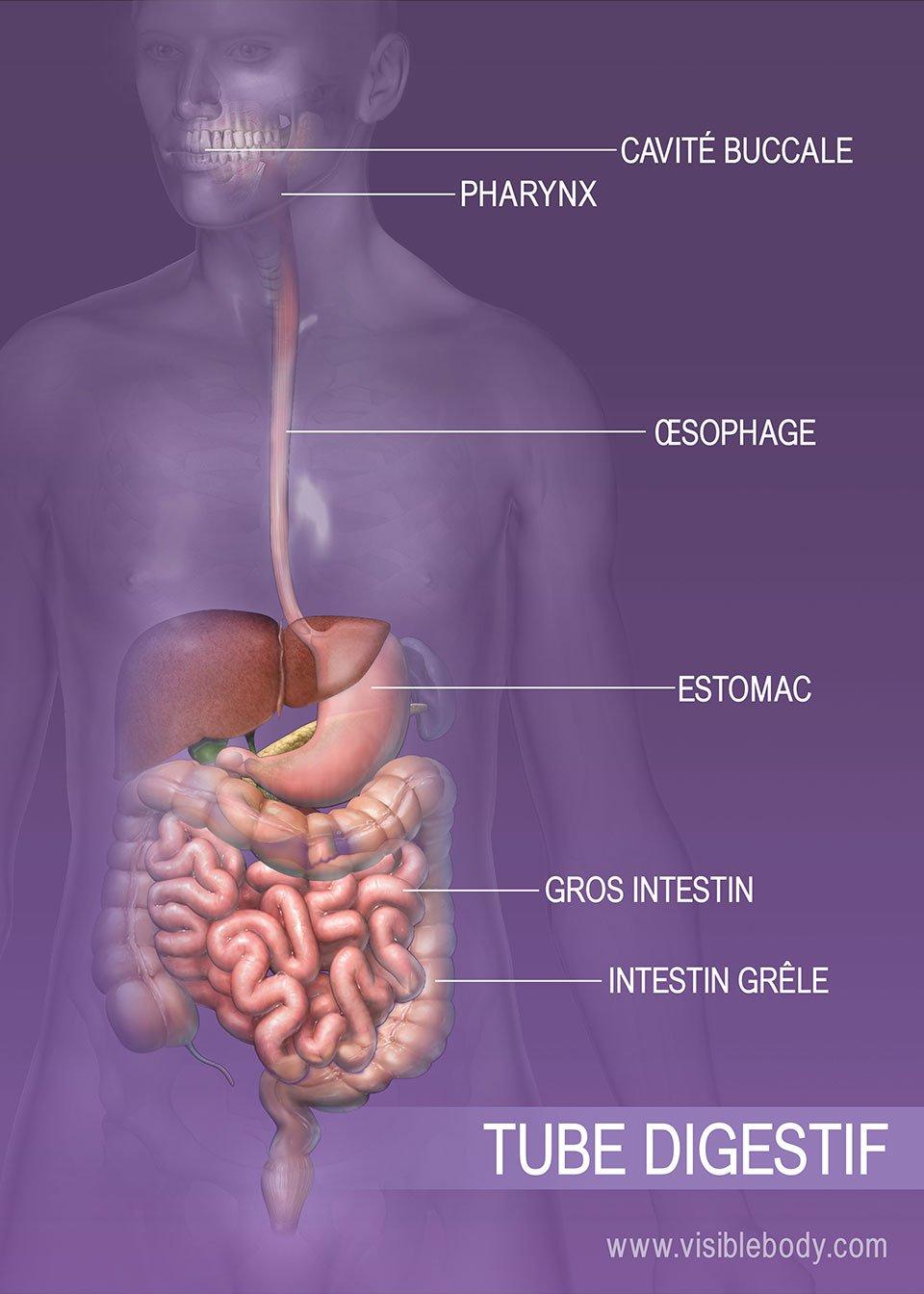 Aperçu du système digestif
