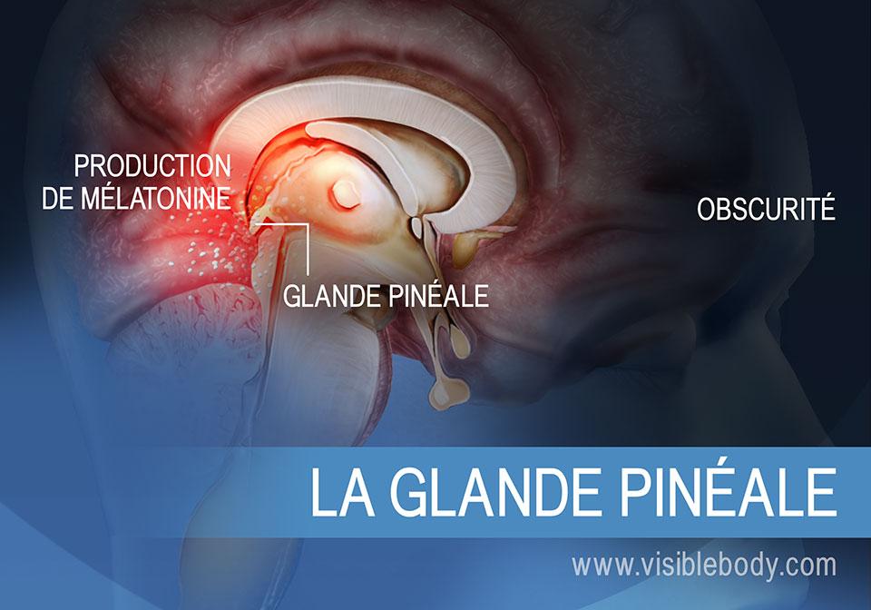 Schéma de la glande pinéale, illustrant sa production de mélatonine