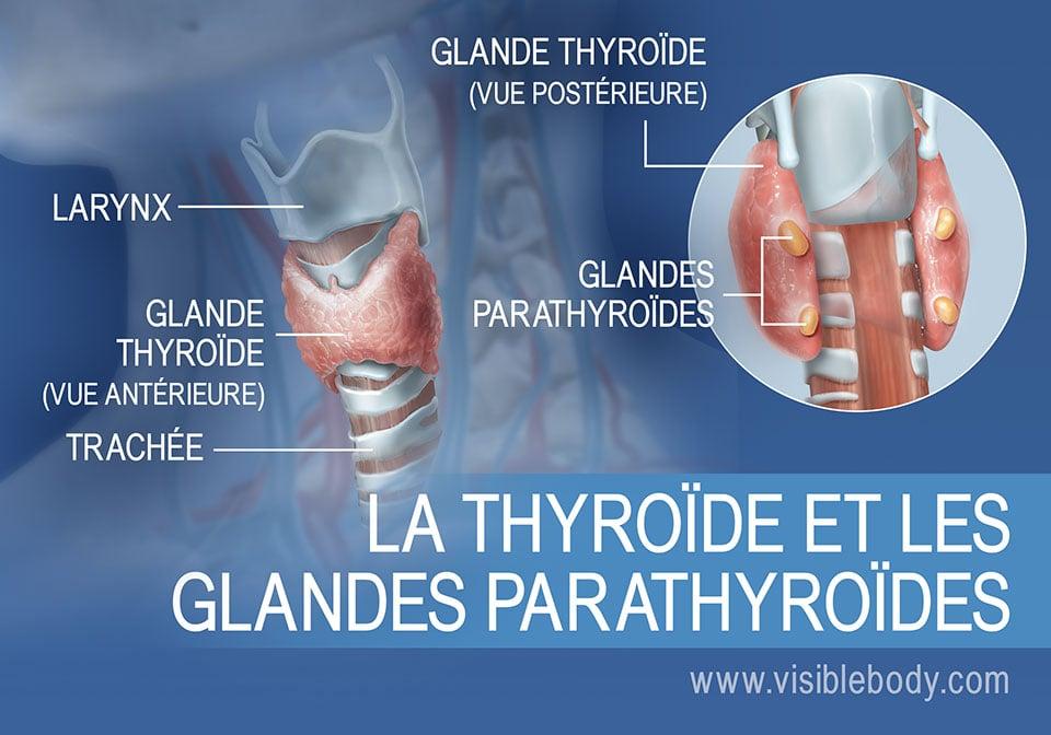 Vues antérieure et postérieure de la thyroïde et des glandes parathyroïdes, avec le larynx et la trachée