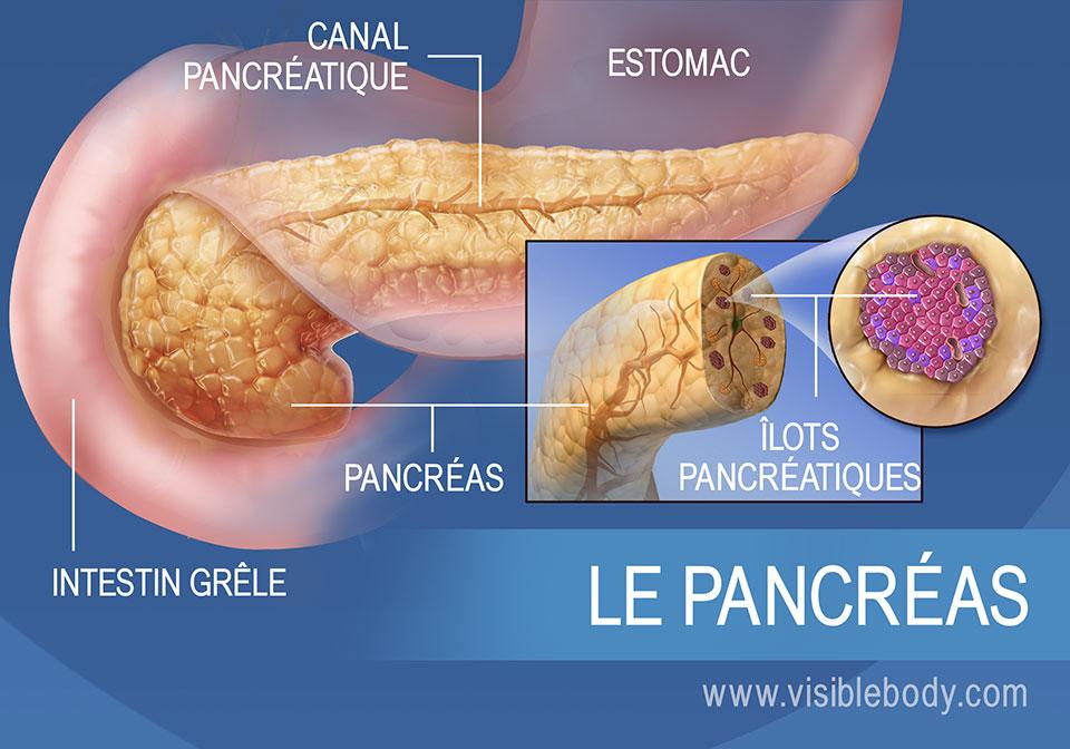 Schéma du pancréas, illustrant le canal pancréatique, les îlots pancréatiques, l'estomac et l'intestin grêle