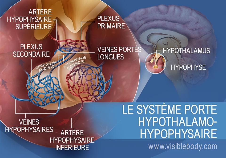 Schéma du système porte hypothalamo-hypophysaire dans l'hypophyse, regroupant les veines hypophysaires et les artères hypophysaires supérieure et inférieure