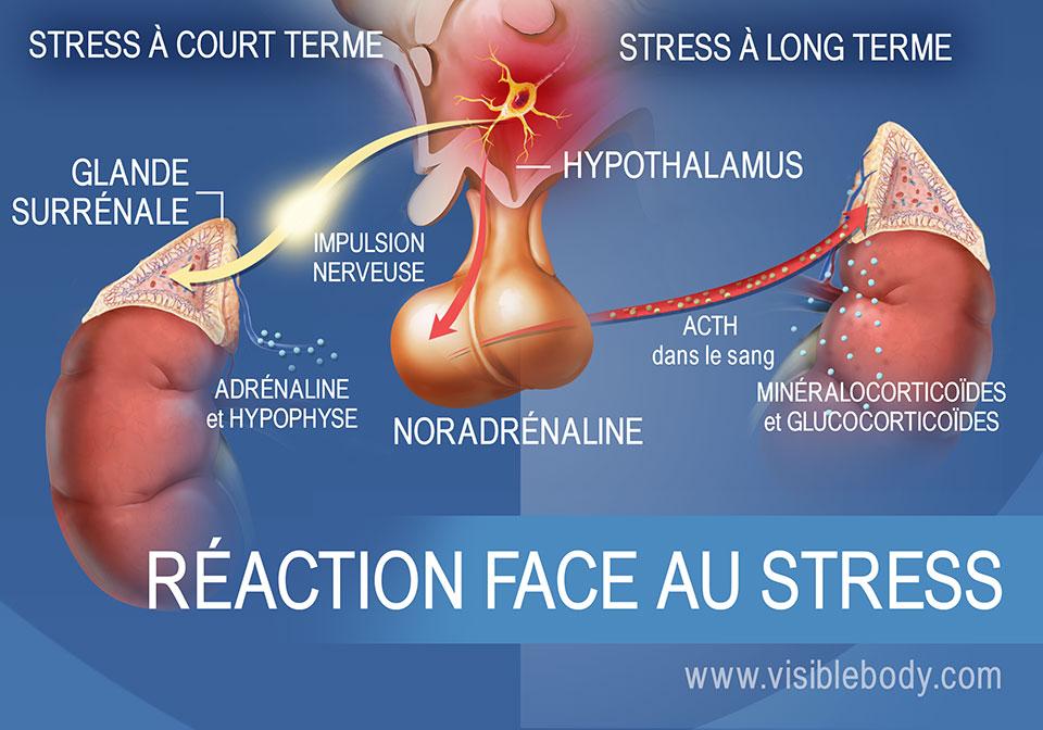 Schéma des hormones impliquées dans une réaction à court ou long terme face au stress, illustrant l'hypothalamus, l'hypophyse et les surrénales