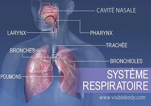 Les principales structures du système respiratoire regroupent la cavité nasale, le pharynx, le larynx, la trachée, les bronches, les poumons et les bronchioles