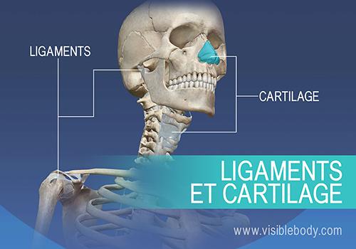 Le système squelettique est composé de 206 os, du cartilage et des ligaments