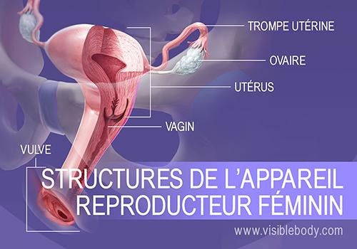 Vue d'ensemble de l'appareil reproducteur féminin