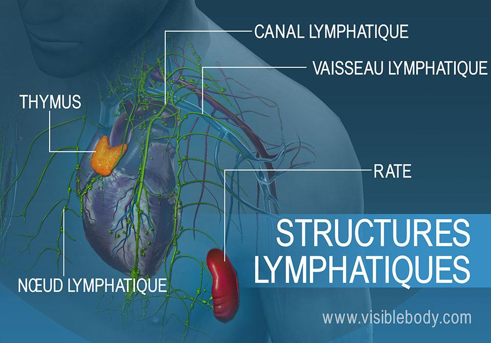 Les structures lymphatiques regroupent le thymus, les nœuds lymphatiques, les vaisseaux et la rate