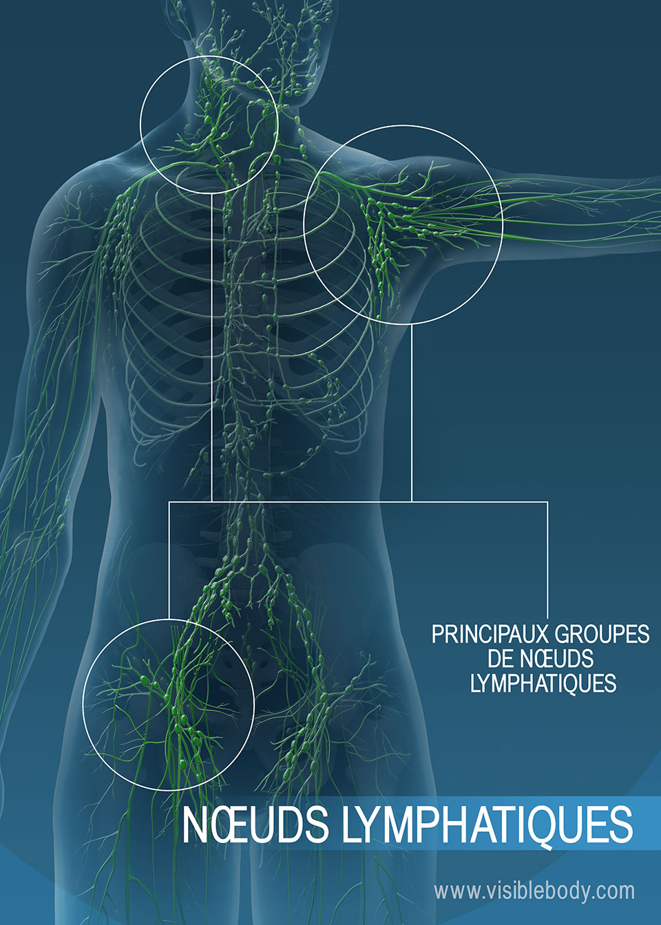 Les nœuds lymphatiques permettent de filtrer les substances indésirables présentes dans la lymphe.