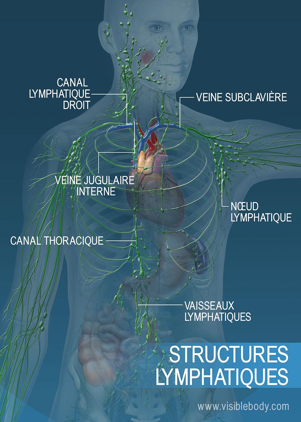 Le réseau de vaisseaux lymphatiques dans le torse et les bras. Les principales structures regroupent le canal thoracique, le canal lymphatique droit et les vaisseaux lymphatiques.
