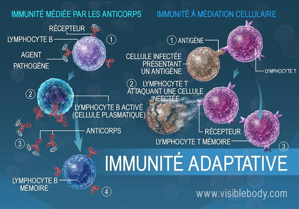 L'immunité à médiation humorale et l'immunité à médiation cellulaire sont des mesures adaptatives auxquelles recourt le corps pour lutter contre les pathogènes