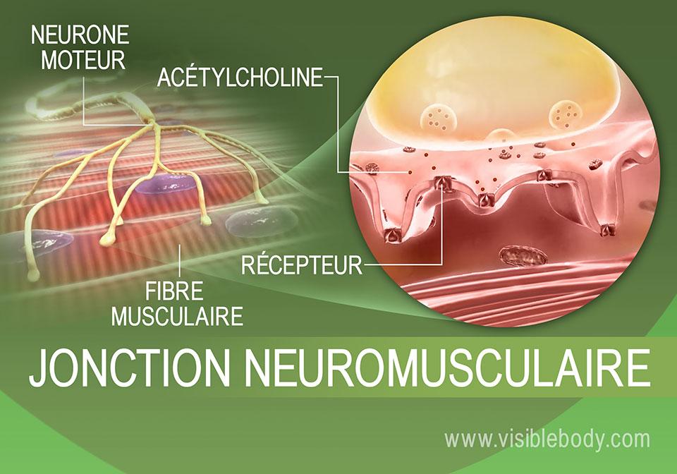 Processus d'innervation des muscles
