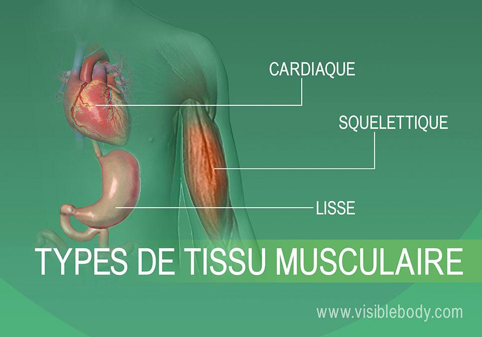 2B-Types-de-tissu-musculaire