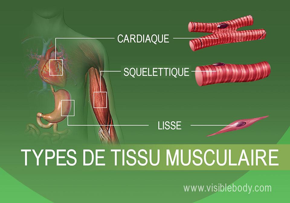 Muscle cardiaque, muscle squelettique et muscle lisse dans le corps humain