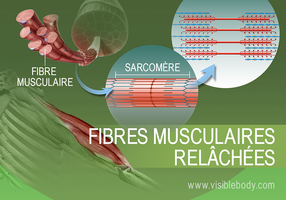 État relâché des filaments d'actine et de myosine