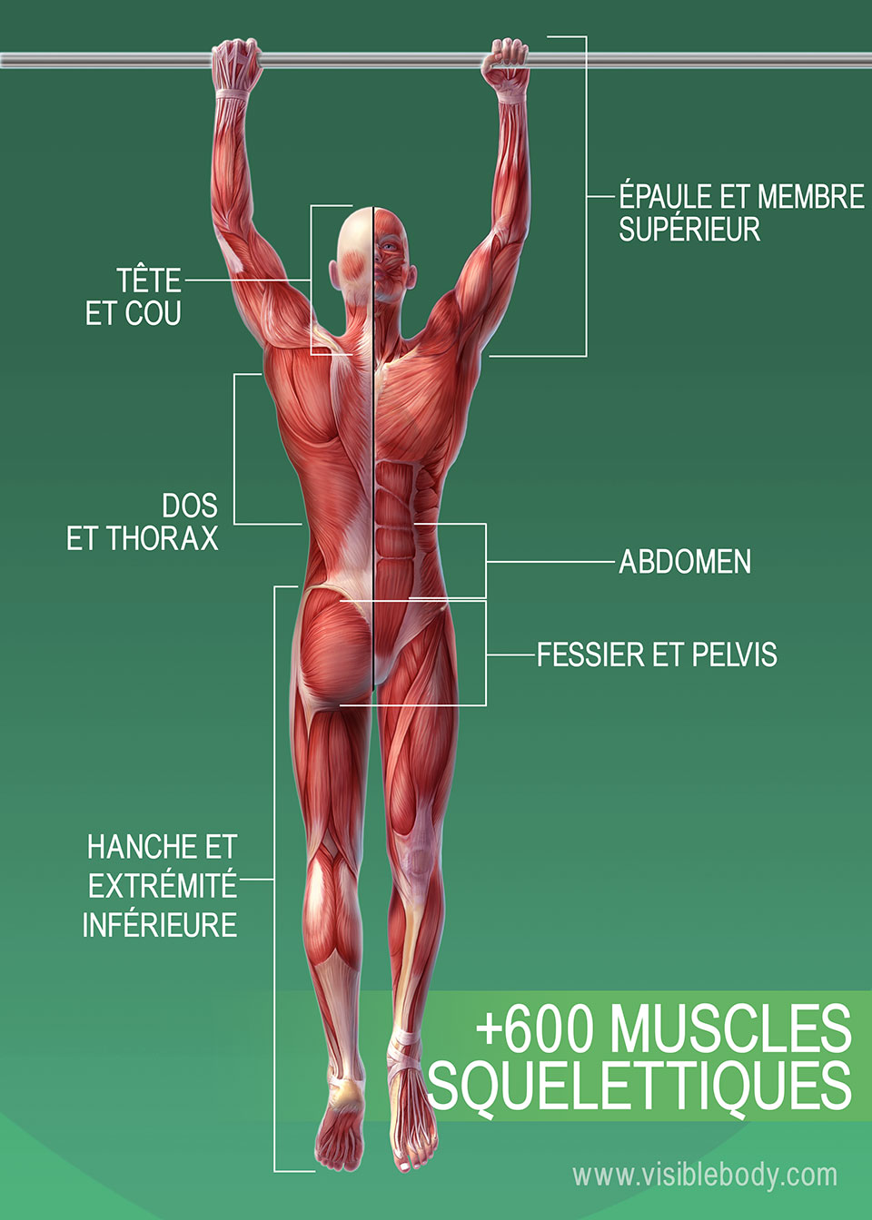 Muscles du corps humain – +600 muscles squelettiques