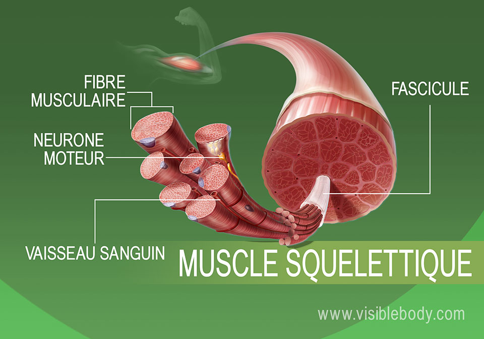 Vue élargie du tissu musculaire squelettique
