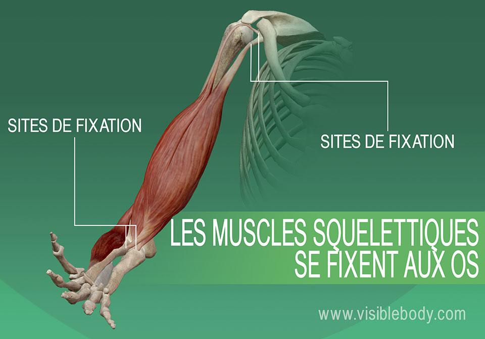 5B-Les-muscles-squelettiques-sont-fixés-aux-os