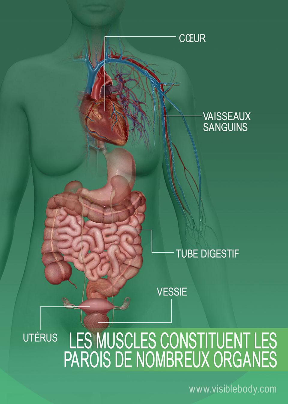 6C-Les-muscles-constituent-les-parois-de-nombreux-organes