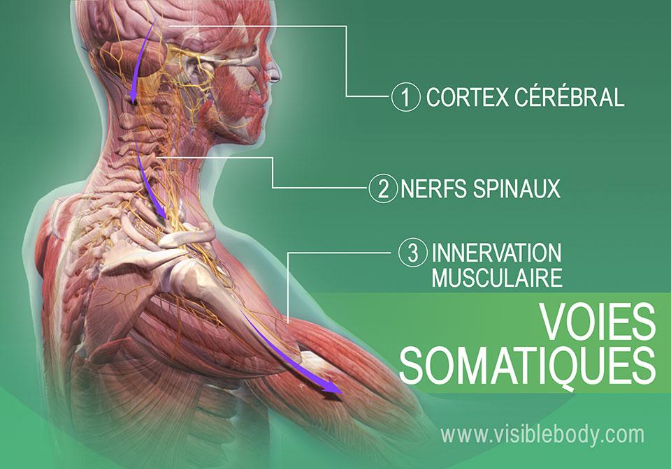 Voies somatiques de l'innervation des muscles