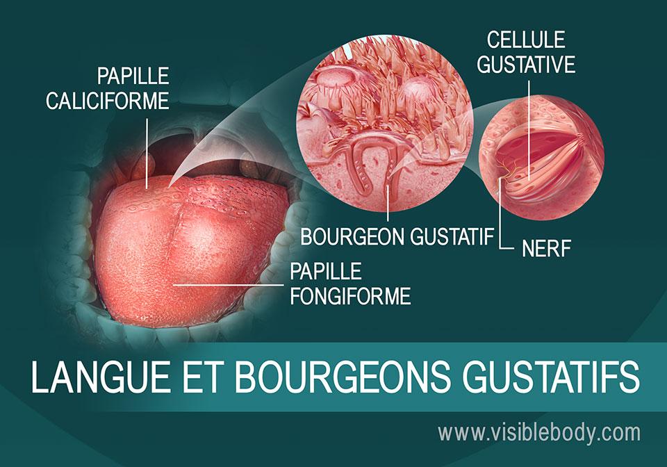 Schéma de la langue et des bourgeons olfactifs
