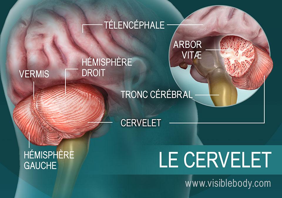 Schéma des parties du cervelet