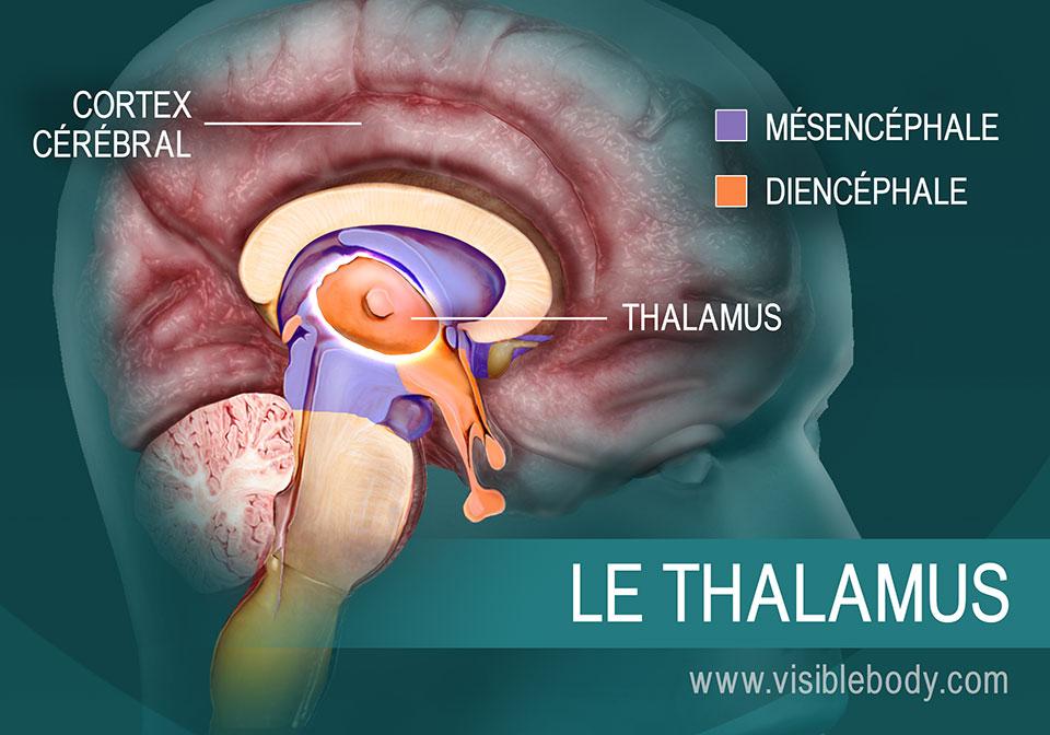 Le thalamus et son emplacement dans le cerveau
