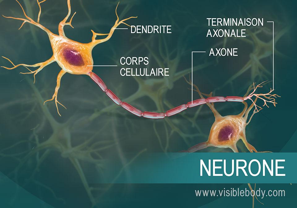 Schéma d'un neurone et de ses composants