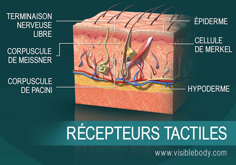 Coupe transversale de la peau illustrant les récepteurs tactiles