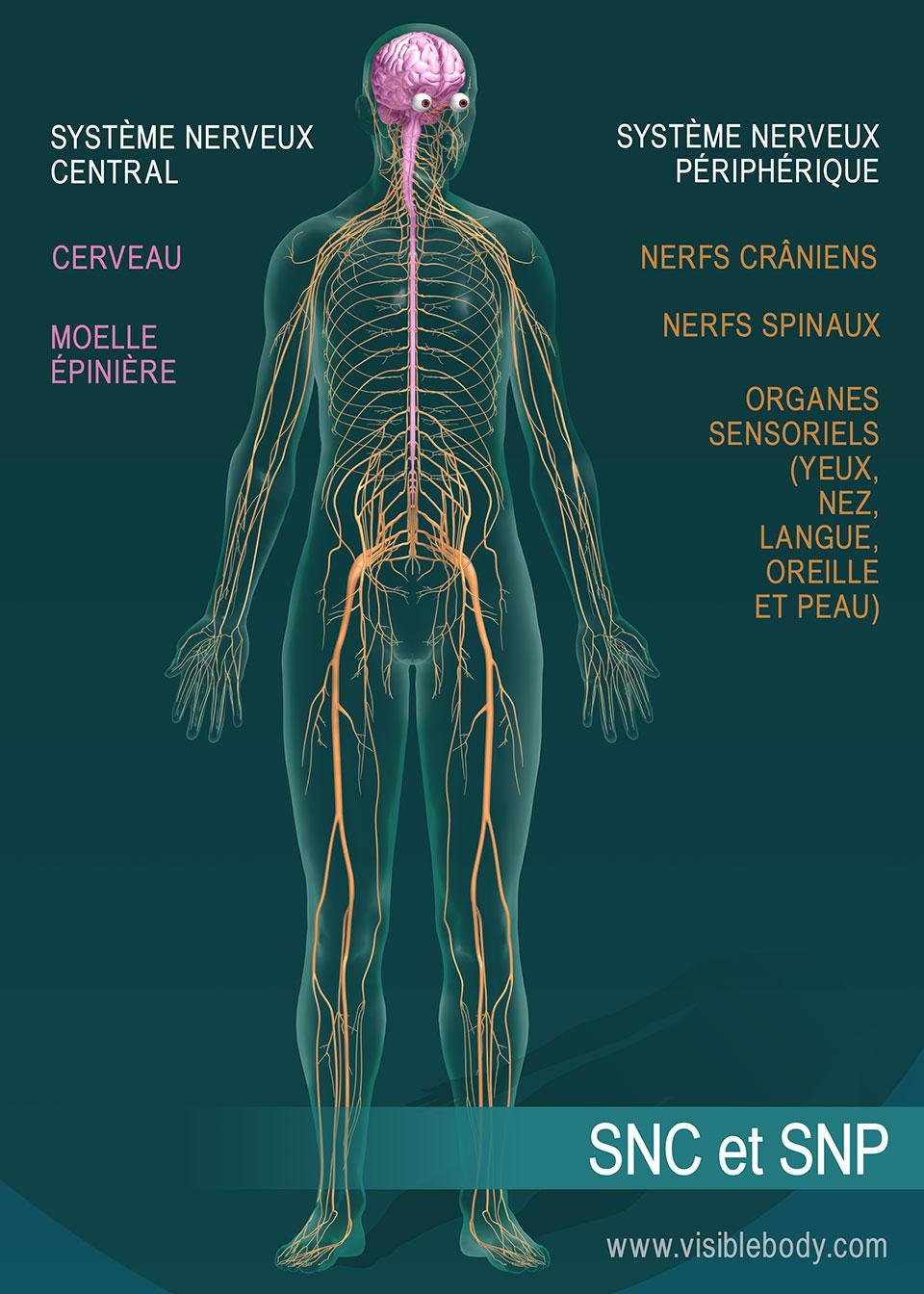 Le cerveau et la moelle épinière constituent le système nerveux central (SNC). Les nerfs crâniens, les nerfs spinaux et les organes sensoriels constituent quant à eux le système nerveux périphérique (SNP).