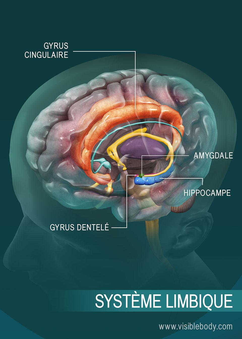 Aperçu du système limbique