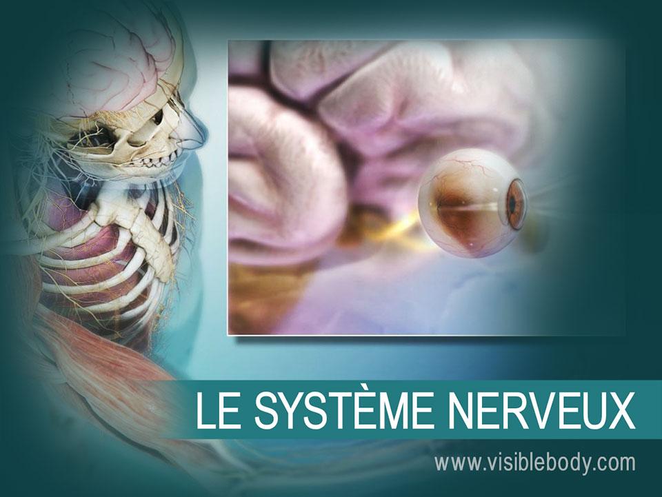 Le cerveau et la moelle épinière constitue le système nerveux central (SNC). Les nerfs crâniens, les nerfs spinaux et les organes sensoriels constituent le système nerveux périphérique (SNP).