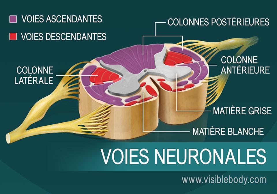 3. Les neurones de la moelle épinière constituent les voies neuronales