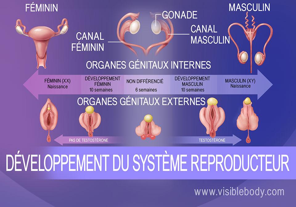 Différenciation génitale du fœtus