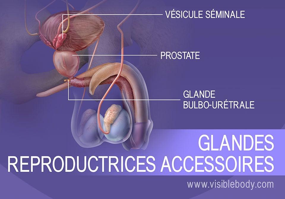 La vésicule séminale, la prostate et les glandes bulbo-urétrales : des glandes reproductrices secondaires