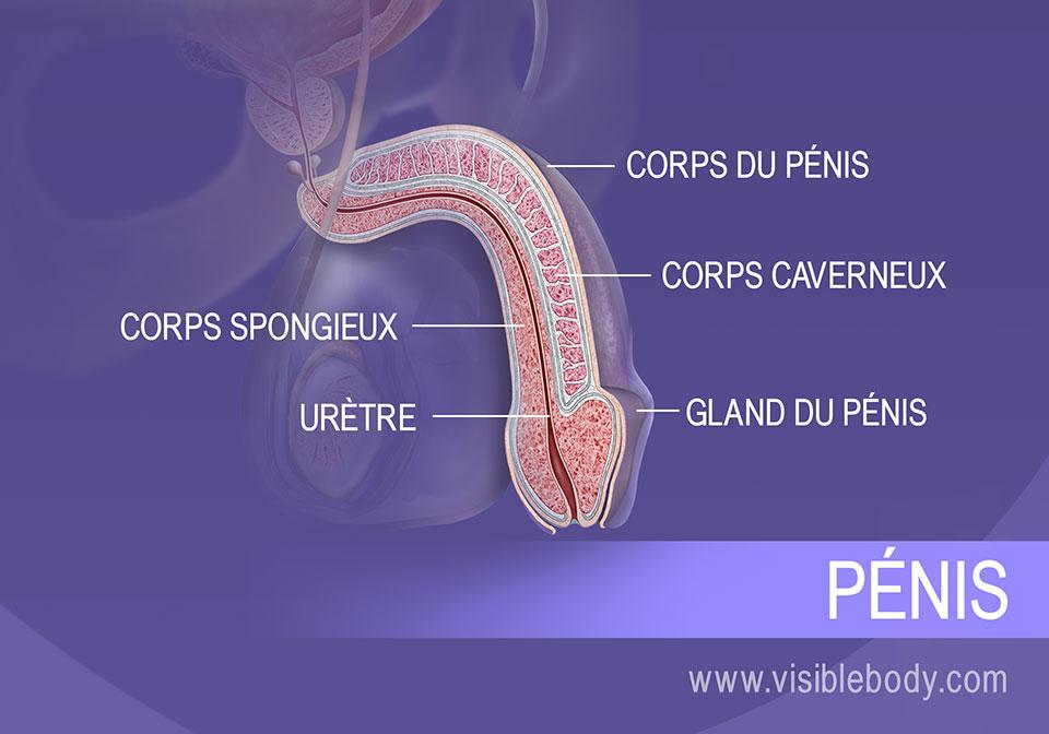 Coupe transversale du pénis, et structures du corps et de la tête (le gland).