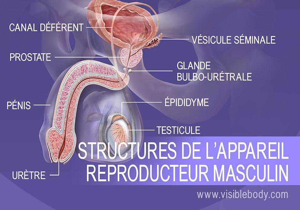 Structures du système reproducteur masculin