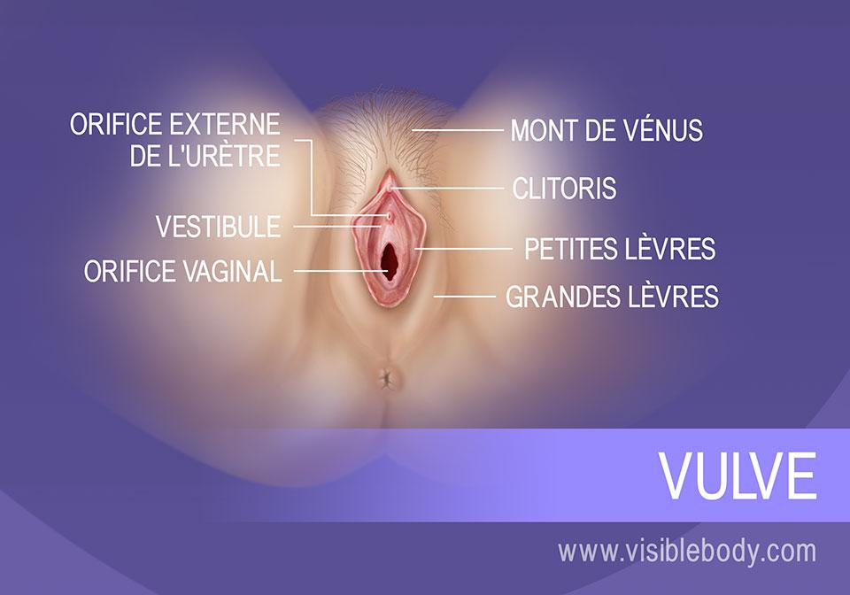 Structures externes de la vulve