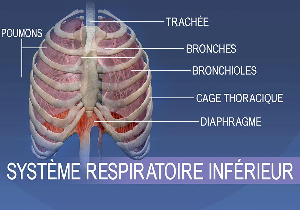 Les structures du système respiratoire inférieur regroupent la trachée, les bronches, les bronchioles, la cage thoracique, les poumons et le diaphragme