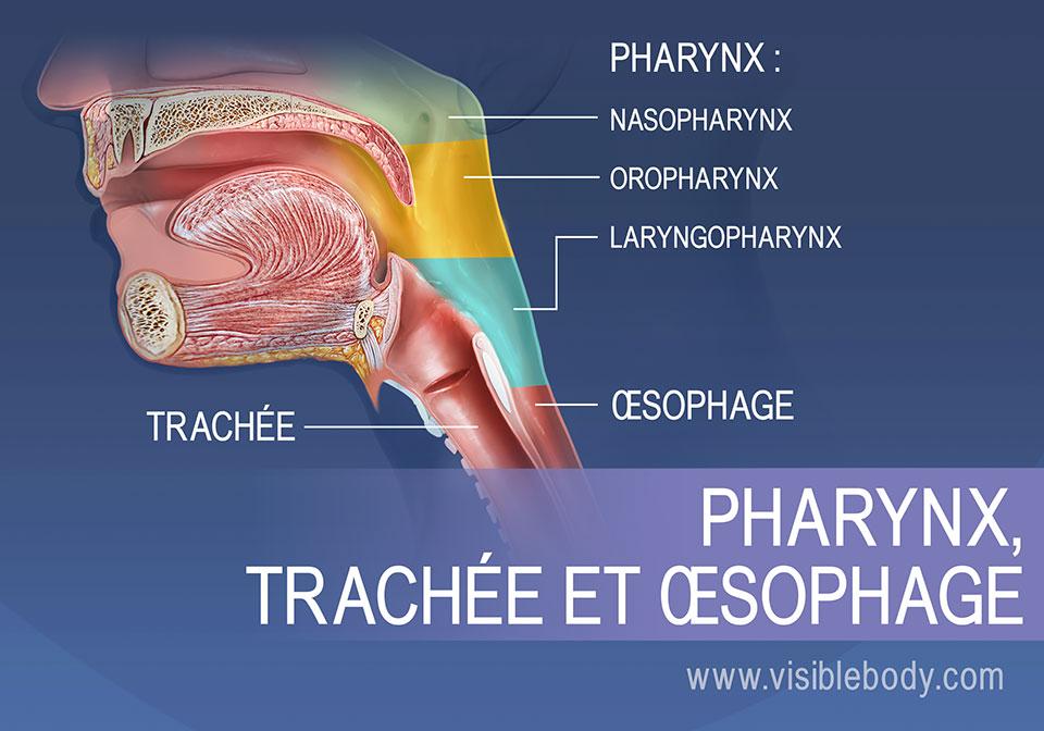 Les régions du pharynx peuvent être décomposées en trois sections : le nasopharynx, l'oropharynx et le laryngopharynx