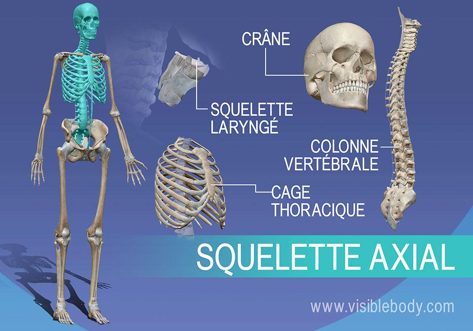 Le squelette axial est constitué des os des vertèbres, du thorax, du crâne et du larynx