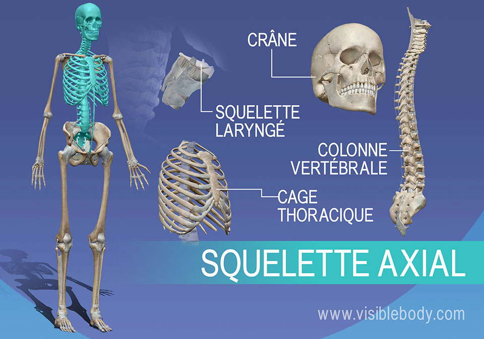 Aperçu du squelette axial : crâne, vertèbres, larynx et thorax