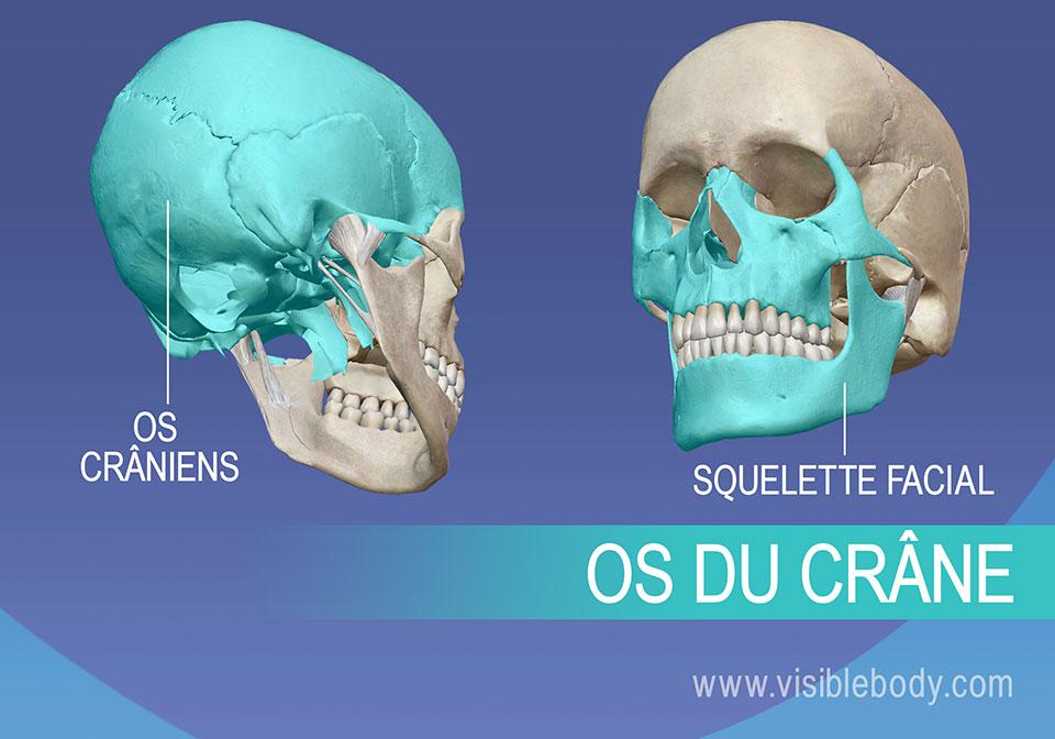 Os crâniens et squelette facial