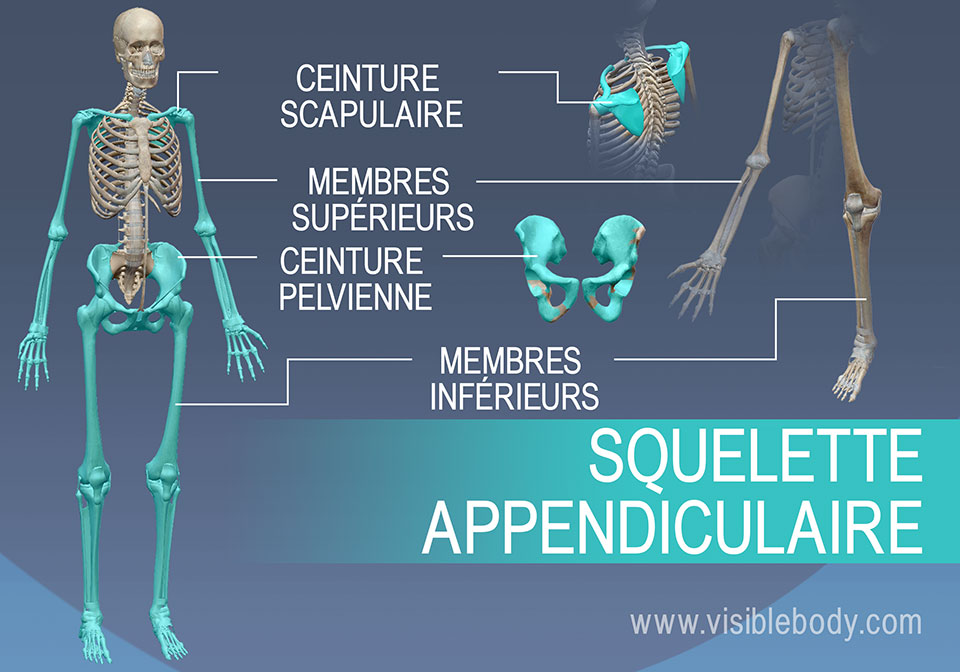 Le squelette appendiculaire est composé des épaules et du pelvis, ainsi que des bras et des jambes